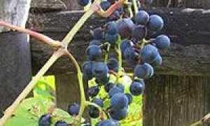 Как лучше сажать виноград в Подмосковье