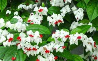 «Дерево судьбы»: красивейший комнатный цветок приносящий любовь и счастье