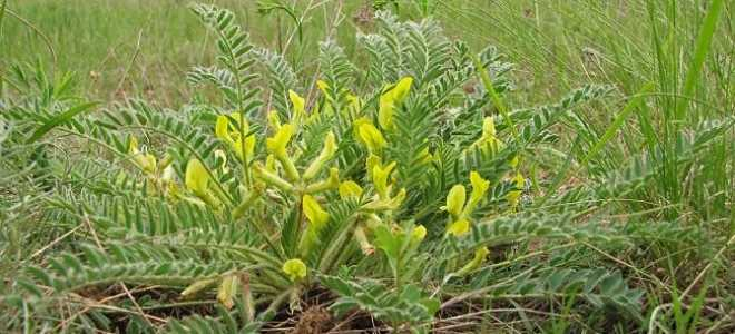 Астрагал. Все статьи о растении. Описание, выращивание и уход
