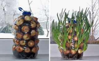 Выращивание зеленого лука в пластиковых бутылках
