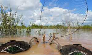Как поймать утку без ружья: ловушки, силки, крючок