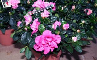 Болезни азалии, включая белый налет, и ее вредители: фото недугов рододендрона, меры лечения и борьбы с паразитами комнатного цветка, уход в домашних условиях