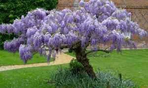 Глициния китайская: описание лианы, ее виды, в том числе Фиолетовая и Пролифик, морозостойкость, необходимый уход, а также фото растения
