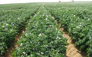 Как подготовить почву, участок под посадку картофеля