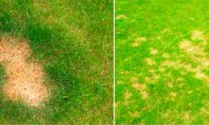 Болезни газона: ржавчина и мучнистая роса