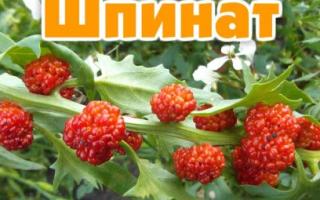 Выращивание земляничного шпината, посадка и уход, полезные свойства, фото
