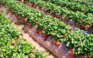 Агротехника выращивания клубники – сорта, способы культивирования и размножения