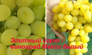 Виноград сортов Макси