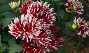 Как вырастить кактусовидные георгины