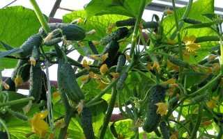 Городской огурчик: описание и характеристика сорта, урожайность с фото