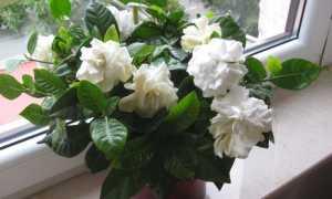 Гардения таитянская, карината, микаллеф, царственная, hermes и другие виды комнатного растения