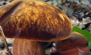Дубовик крапчатый (Boletus erythropus): фото и описание, где и когда растёт