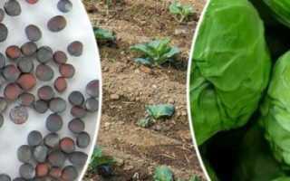Выращивание капусты в открытом грунте рассадным и безрассадным методом + Видео