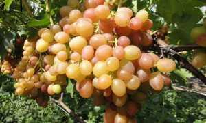 Виноград Хамелеон описание сорта, характеристика, особенности и отзывы с фото