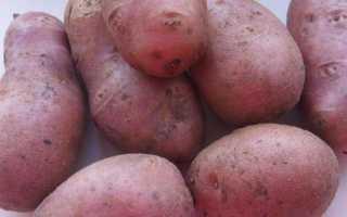 Голландский картофель сорта Ред Скарлетт: прекрасно выглядит, долго хранится