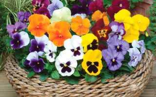 Виола или фиалка садовая: выращивание, уход, применение