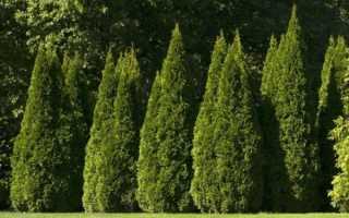 Все о растении туя: описание, как выглядит, где растет, свойства, характеристики