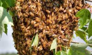 Как поймать рой пчел в пустой улей – чем мазать и как приманить