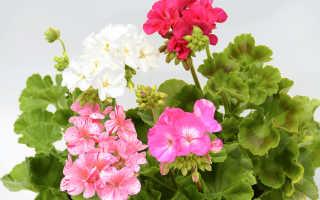 Выясняем причины по которым не цветет герань
