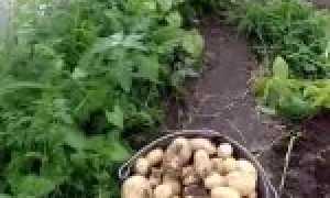 Выращивание раннего картофеля в теплице – советы