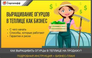 Как выращивать огурцы в теплице на продажу — с чего начать