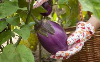 Все о баклажанах: это ягода или овощ, как выглядит, какие имеет сорта, полезен ли и другие нюансы