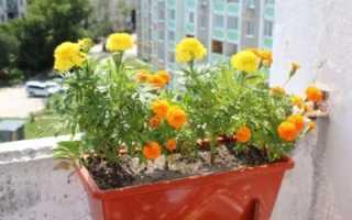 Бархатцы в горшках дома: можно ли их выращивать на балконе или в квартире зимой, а также какие условия и уход необходимы этим цветам?