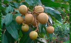 Выращивание фрукта лонган в домашних условиях из косточки, фото растения