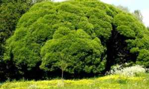 Ива ломкая: описание сортов, фото, уход, посадка, размножение