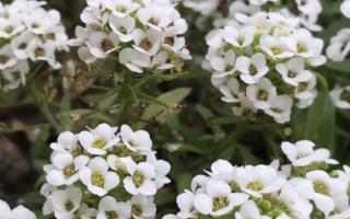Алиссум «Снежный ковер»: выращивание из семян и применение в саду