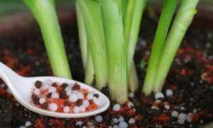Как правильно подкормить и вырастить луковицы