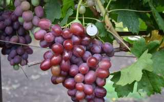 Виноград «Подарок Ирине»