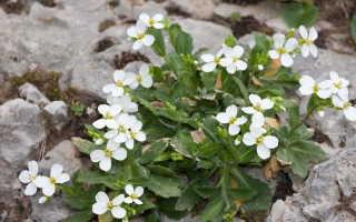 Арабис альпийский: фото, условия выращивания, уход и размножение