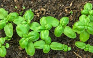 Базилик — выращивание, уход, заготовки и хранения урожая