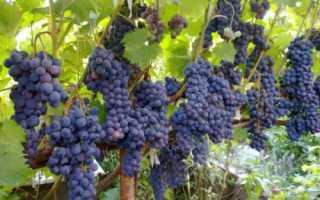 Виноград «Ливадийский черный» описание и характеристика сорта, особенности выращивания, фото и отзывы