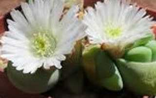 Гиббеум: описание растение, разновидности + фото, выращивание
