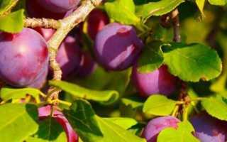 Как ежегодно получать урожай сливы: секреты весенней и осенней подкормок