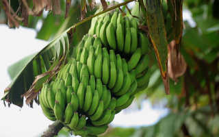 Бананы: польза и вред, полезные свойства и противопоказания
