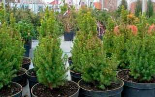 Выращивание ели в домашних условиях: как посадить, ухаживать, как вырастить канадскую ель