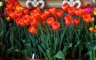 Как вырастить тюльпаны в цветочном горшке и на клумбе?