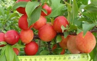 Как и когда посадить сливу в Сибири: пошаговое руководство для начинающих, лучшие сорта с описанием, фото, отзывами, посадка и уход, выращивание