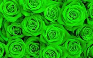 Зеленые розы: описание, сорта, посадка и уход, фото