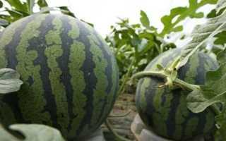 Как вырастить арбуз в теплице в Подмосковье: посадка и уход, с фото и видео