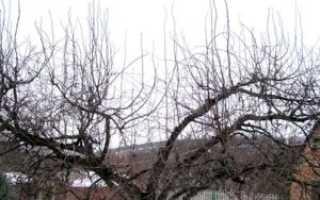 Волчки на деревьях, что с ними делать?