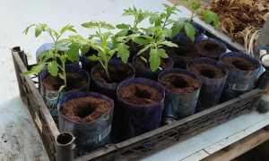 Благоприятные дни для пикирования томатов после всходов на 2020 год по луне