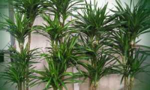 Как размножать пальмы в домашних условиях. Уход за пальмами – живой-сад.рф