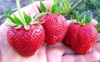 Земляника Дарселект: выращивание, описание сорта, фото и отзывы