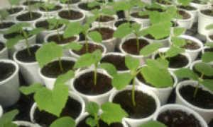 Как выращивать рассаду огурцов из семян чтобы она не вытягивалась фото