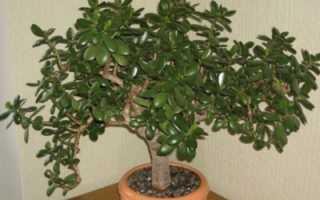 Как вырастить денежное дерево из листка