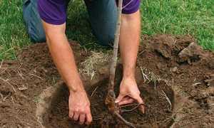 Как правильно посадить яблоню весной в Подмосковье